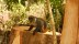Sykes monkey eating termites on the stump next to me while I used internet in a recent clearing near the edge of the Mchelelo forest