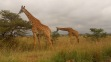 Maasai giraffes grazing in Nairobi National Park this morning… they have such long, tough, blue tongues!